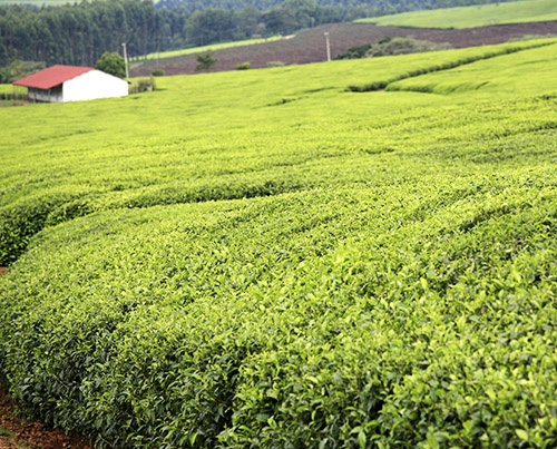 tea-plantation-rift-valley-kenya-500px.jpg